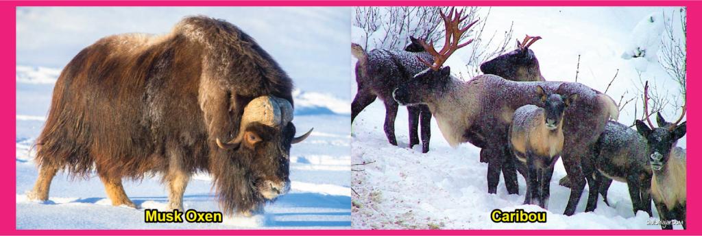 mamalia tundra musk oxen dan caribou