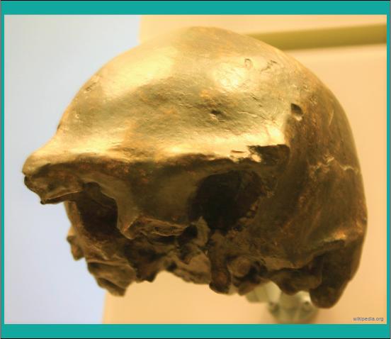 fosil manusia purba Homo Soloensis