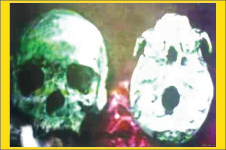 fosil manusia purba Homo Wajakensis