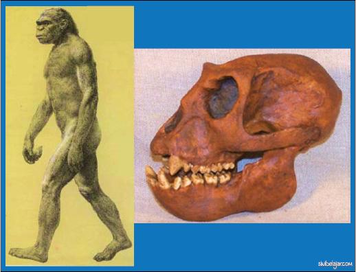 manusia purba Meganthropus Palaeojavanicus